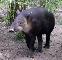 Tapir in Costa Rica